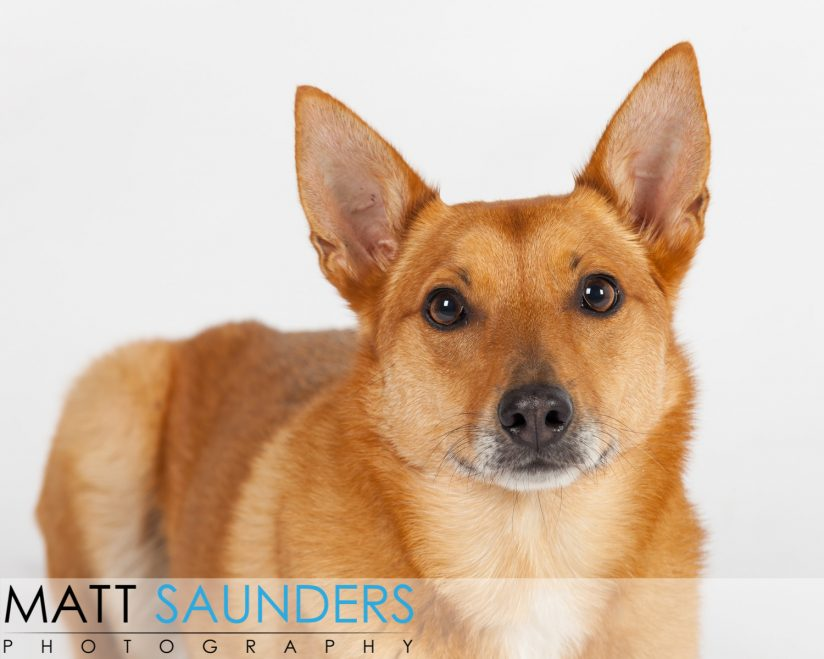 Great shot of a likeable dog from down under. She's a part Dingo. Usually used as sheep dogs in Australia!