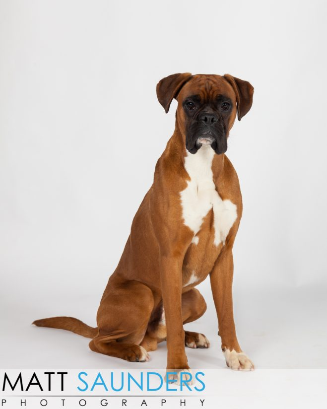 Brown Boxer dog sat in a nice pose in a studio, having his photo taken.