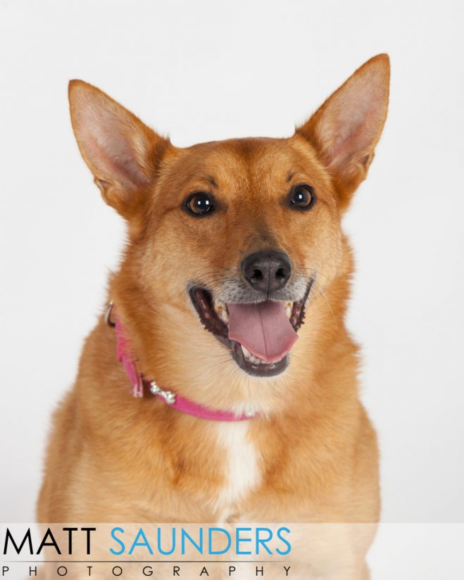 Fox like dog with a lovely big smile in a studio having a photoshoot. Looked like she really enjoyed it!